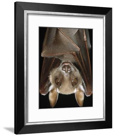 Buettikofer's Epauletted Bat (Epomops Buettikoferi) Close Up of Face-Ingo Arndt/Minden Pictures-Framed Photographic Print