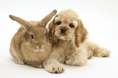 Buff American Cocker Spaniel Puppy, China, 10 Weeks, Lying Beside Sandy Lionhead-Cross Rabbit-Mark Taylor-Photographic Print