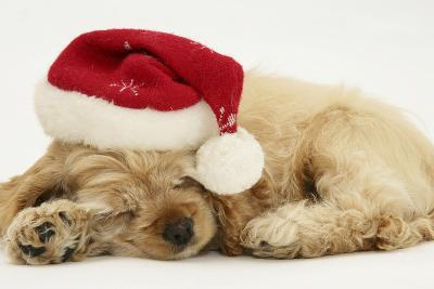 Buff American Cocker Spaniel Puppy, China, 10 Weeks Old, Asleep with Father Christmas Hat On-Mark Taylor-Photographic Print