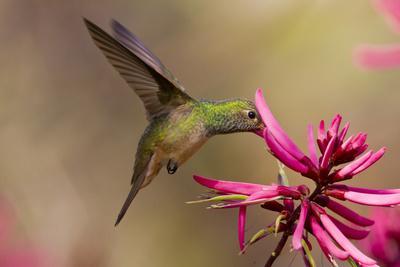 https://imgc.artprintimages.com/img/print/buff-bellied-hummingbird-amazilia-yucatanensis-feeding-at-coral-bean-flower_u-l-pieppv0.jpg?p=0