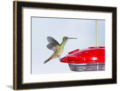 Buff-Bellied Hummingbird (Amazilia Yucatanensis) Landing at Feeder-Larry Ditto-Framed Photographic Print