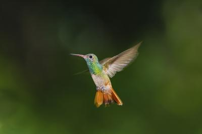 Buff-Bellied Hummingbird in Flight-Larry Ditto-Photographic Print