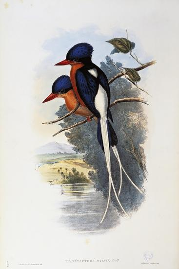 Buff-Breasted Paradise-Kingfisher (Tanysiptera Sylvia)-John Gould-Giclee Print