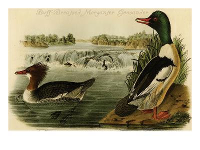 Buff-Breatsed Merganter Goosander-John James Audubon-Art Print