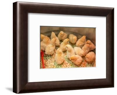 Buff Orpington chicks huddled together under a heat lamp-Janet Horton-Framed Photographic Print