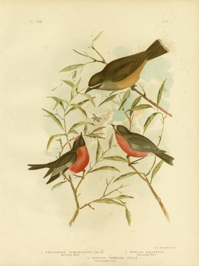 Buff-Sided Robin, 1891-Gracius Broinowski-Giclee Print
