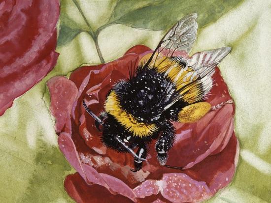 Buff-Tailed Bumblebee or Large Earth Bumblebee (Bombus Terrestris), Apidae--Giclee Print