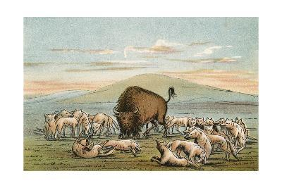 Buffalo and Coyotes-George Catlin-Giclee Print