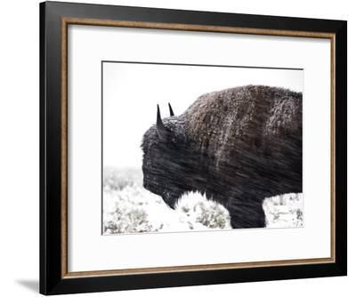 Buffalo Bracing Himself Against the Snow-National Geographic Photographer-Framed Photographic Print