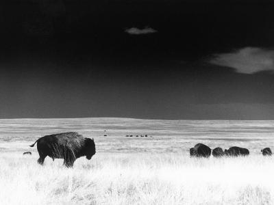 Buffalo Grazing, Buffalo Gap Nat Grassland, SD-John Glembin-Photographic Print