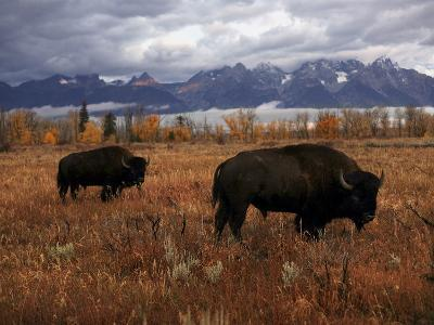 Buffalo Grazing in Grand Teton National Park-Aaron Huey-Photographic Print
