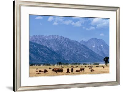 Buffalo Herd with Grand Teton Mountains behind. Grand Teton National Park, Wyoming.-Tom Norring-Framed Premium Photographic Print
