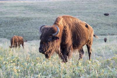 Buffalo in Custer State Park-Howie Garber-Photographic Print