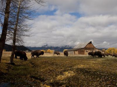Buffalo in Front of Moulton Barn Near Grand Teton National Park-National Geographic Photographer-Photographic Print