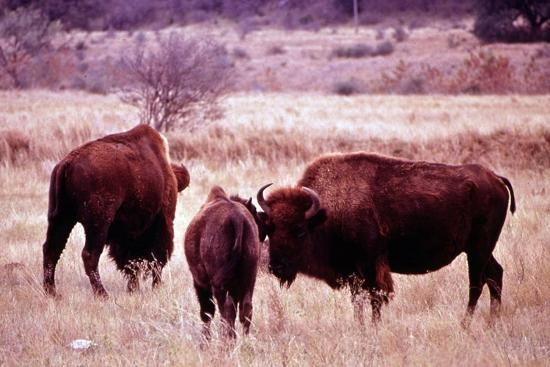 Buffalo In Meadow On Bell Ranch, 11/1972- The U.S. National Archives-Art Print