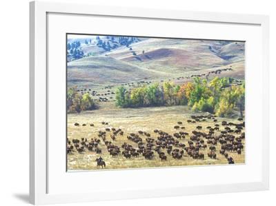 Buffalo Round-Up, Custer State Park, South Dakota--Framed Photographic Print