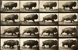 Buffalo Running, Animal Locomotion Plate 700