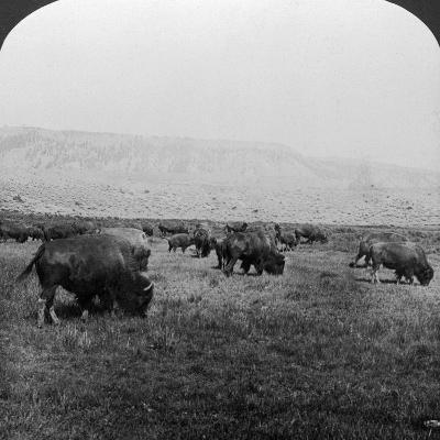 Buffalo, Yellowstone National Park, Usa-HC White-Photographic Print