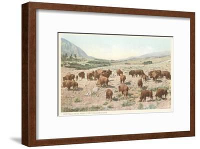 Bufffalo Herd, Yellowstone National Park