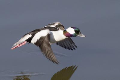 Bufflehead Drake in Flight-Hal Beral-Photographic Print