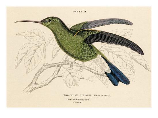 Buffon's Hummingbird--Art Print
