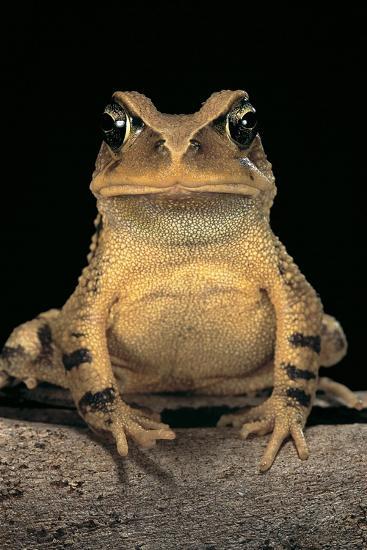 Bufo Brauni (Dead-Leaf Toad)-Paul Starosta-Photographic Print