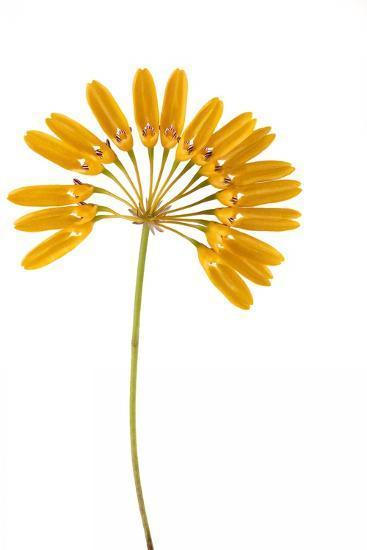 Bulbophyllum Retusiusculum-Fabio Petroni-Photographic Print