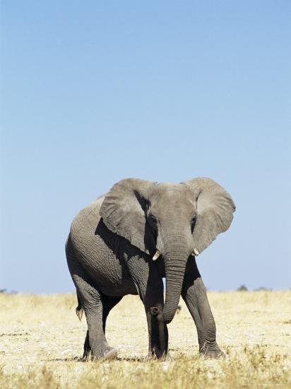 Bull African Elephants, Loxodonta Africana, Etosha National Park, Namibia, Africa-Ann & Steve Toon-Photographic Print