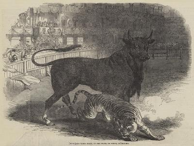 Bull and Tiger Fight, in the Plaza De Toros, at Madrid--Giclee Print