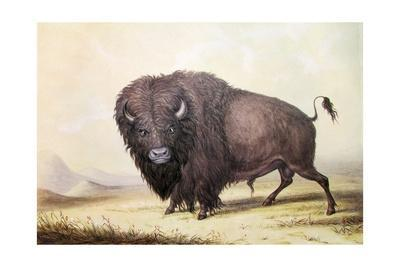 https://imgc.artprintimages.com/img/print/bull-buffalo_u-l-pnn81m0.jpg?artPerspective=n