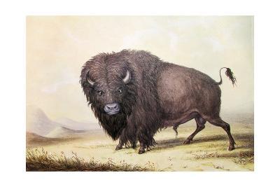 Bull Buffalo-George Catlin-Giclee Print