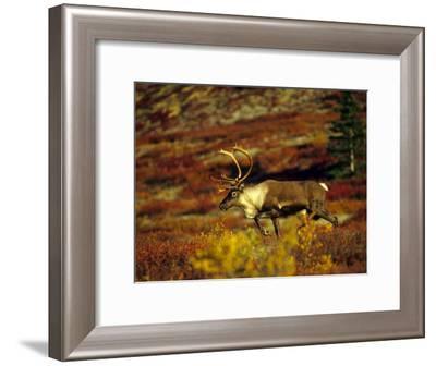 Bull Caribou Migrate to Rutting Leks, Denali National Park, Alaska-Michael S^ Quinton-Framed Photographic Print