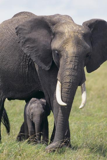 Bull Elephant and Baby-DLILLC-Photographic Print