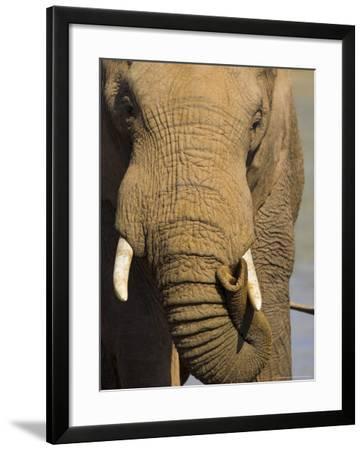 Bull Elephant, Loxodonta Africana, Addo Elephant National Park, Eastern Cape, South Africa-Steve & Ann Toon-Framed Photographic Print