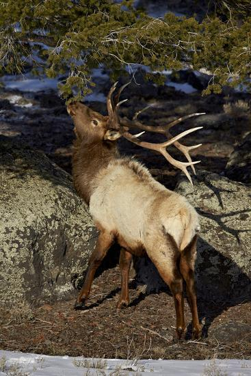 Bull Elk (Cervus Canadensis) Eating Pine Needles-James Hager-Photographic Print