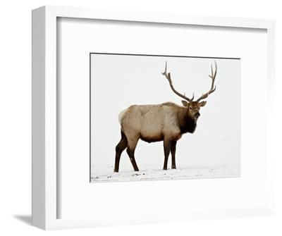 Bull Elk (Cervus Canadensis) in Snow, Yellowstone National Park, Wyoming