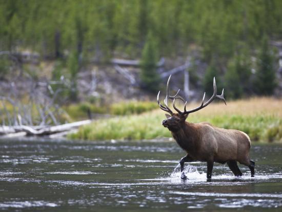 Bull Elk Wades Through the Madison River in Yellowstone-Drew Rush-Photographic Print