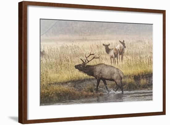 Bull Elk with Females on Foggy Morning Along Madison River, Yellowstone National Park, Wyoming-Adam Jones-Framed Photographic Print