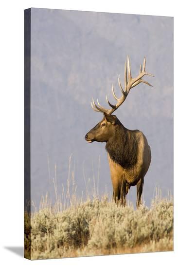 Bull Elk Yellowstone Natl Park--Stretched Canvas Print