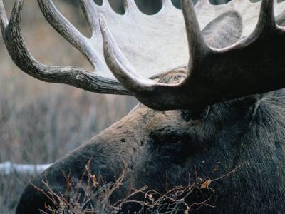 Bull Moose, Denali National Park & Preserve, Alaska, USA-Mark Newman-Photographic Print