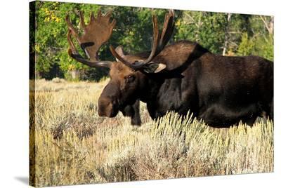 Bull moose Grand Teton Park--Stretched Canvas Print