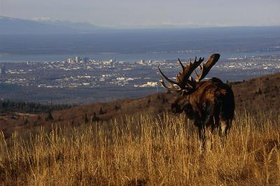 Bull Moose Grazing and Resting on Hillside Above Anchorage Chugach State Park Southcentral Ak Autum-Design Pics Inc-Photographic Print