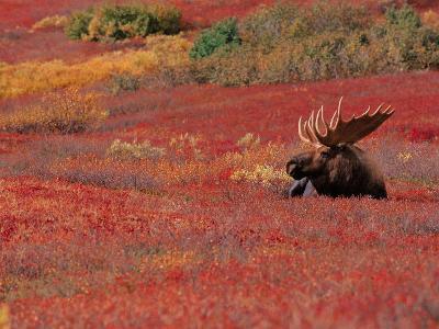 Bull Moose in Denali National Park, Alaska, USA-Dee Ann Pederson-Photographic Print