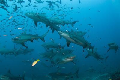 Bull Shark, Commercial Shark Feeding, Benga Lagoon, Viti Levu, Fiji-Pete Oxford-Photographic Print
