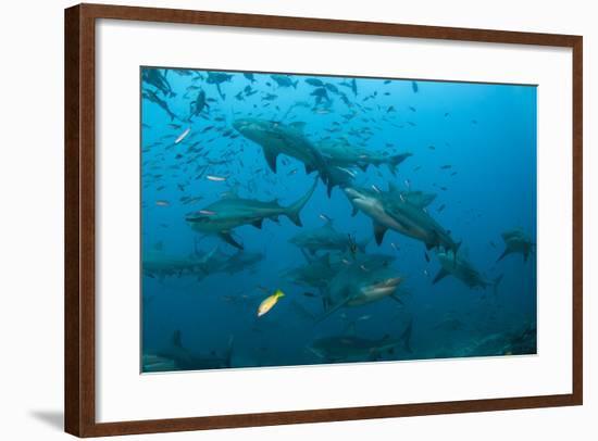 Bull Shark, Commercial Shark Feeding, Benga Lagoon, Viti Levu, Fiji-Pete Oxford-Framed Photographic Print