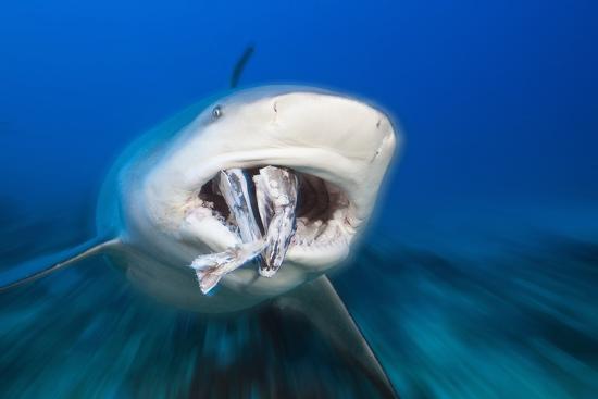 Bull Shark Feeding (Carcharhinus Leucas), Beqa Lagoon, Viti Levu, Fiji-Reinhard Dirscherl-Photographic Print