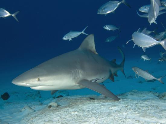 Bull Shark Female (Carcharhinus Leucas), Playa Del Carmen, Mexico, Caribbean Sea-Andy Murch-Photographic Print
