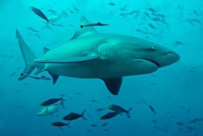 Bull Shark Female--Photographic Print