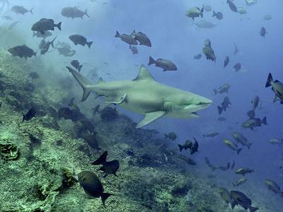 Bull Shark Swimming Through Fish--Photographic Print