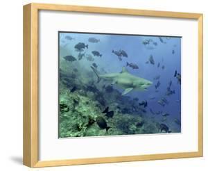 Bull Shark Swimming Through Fish